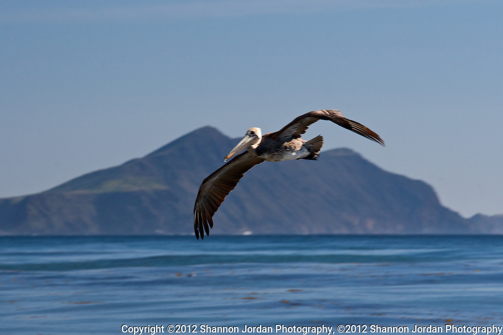 A Pelican flys above the ocean in the Channel Islands National Marine Sanctuary with Anacapa Island in the distance, off the coast of California. The central coast of California is one of the most scenic areas of the United States. The natural beauty and wildlife are abundant and breathtaking. You can find more than 200 species of birds, both land and sea birds, on this scenic and spectacular stretch of California..The National Audubon Society lists Morro Bay and the central coast of California, including Santa barbara as a Globally Important Bird Area. Thousands of migratory birds spend part of the year here..Shorebirds such as marbled godwits, willets, curlews with their long curved bills and tiny sandpipers find a bountiful feast in the mudflats of the estuary at Morro Bay. Black brant geese migrate from spots on the Alaskan shore to feed on the rich eelgrass beds. Fluttering terns, brown pelicans, graceful egrets and herons are also part of the seasonal mix....