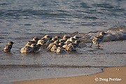 crested tern chicks, Sterna bergii or Thalasseus bergii, march along the receding shoreline of their eroding island as the incoming tide threatens to wash them out to the hungry waiting sharks, Turu Cay, Torres Strait, Queensland, Australia