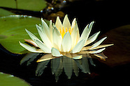 Nymphaeaceae (Waterlilies)