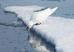 Ivory gull (Pagophila eburnea) in Svlabard