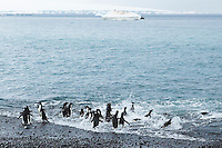 Penguins in the surf going out to sea to feed. Nature and wildlife photography wall art. Fine art photography prints, stock images.