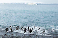 Animals, penguins on the beach.<br /> MG6357