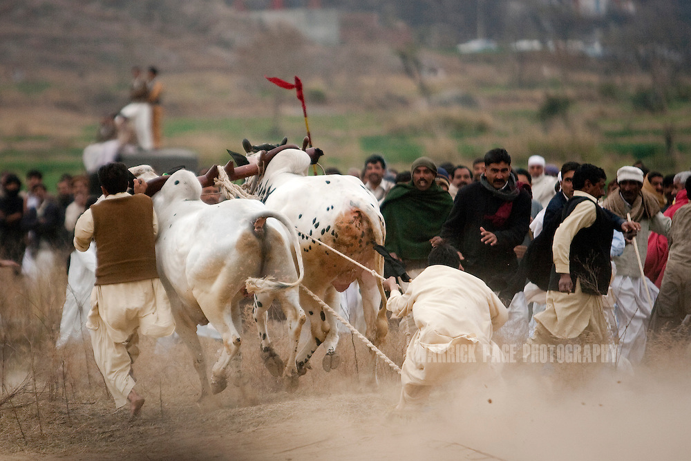 RAWALPINDI, PAKISTAN - FEBRUARY 5: A jockey loses control of his bulls, as they turn into a crowd of spectators, at a bull racing event on February 5, 2011, in Rawalpindi, Pakistan. Bull racing takes place during the winter months throughout Pakistan where many come to watch or gamble on the contenders. (Photo by Warrick Page)