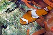 An Ocellaris Clownfish (Amphiprion ocellaris) guards the hatching eggs carefully.