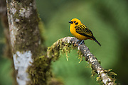 Golden tanager (Tangara arthus)<br /> Western slopes of Andes<br /> Andes<br /> ECUADOR, South America<br /> Habitat & Range: Highland forest of the Andes of Venezuela, Ecuador and Bolivia