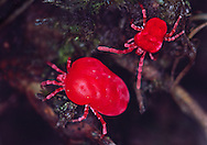 Female and male Velvet Mites at high magnification.