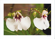 Greeting card with photograph of New Guinea Impatiens individually printed on archival card stock in vivid colors. Blank inside, with envelope.