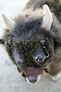 31st October 2009. Topanga, California. Much Love Animal Rescue's 6th Annual Bow Wow Ween! an annual Halloween event that helps find homes for stray animals and neglected pets. Pictured is Sparky the chihuahua, dressed as a monster from Where The Wild Things Are. PHOTO © JOHN CHAPPLE / www.chapple.biz.john@chapple.biz  (001) 310 570 9100.