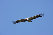 Griffon Vulture (Gyps fulvus)  in flight, Gamla, Israel