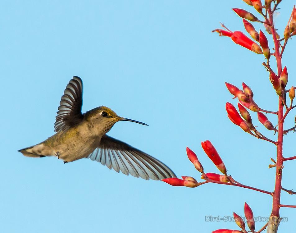 Costa's Hummingbird, Calypte costae, Baja, Mexico, by Owen Deutsch