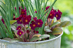 Primula 'Neon Violet' growing with Iris 'Red Embers' in a metal pot.