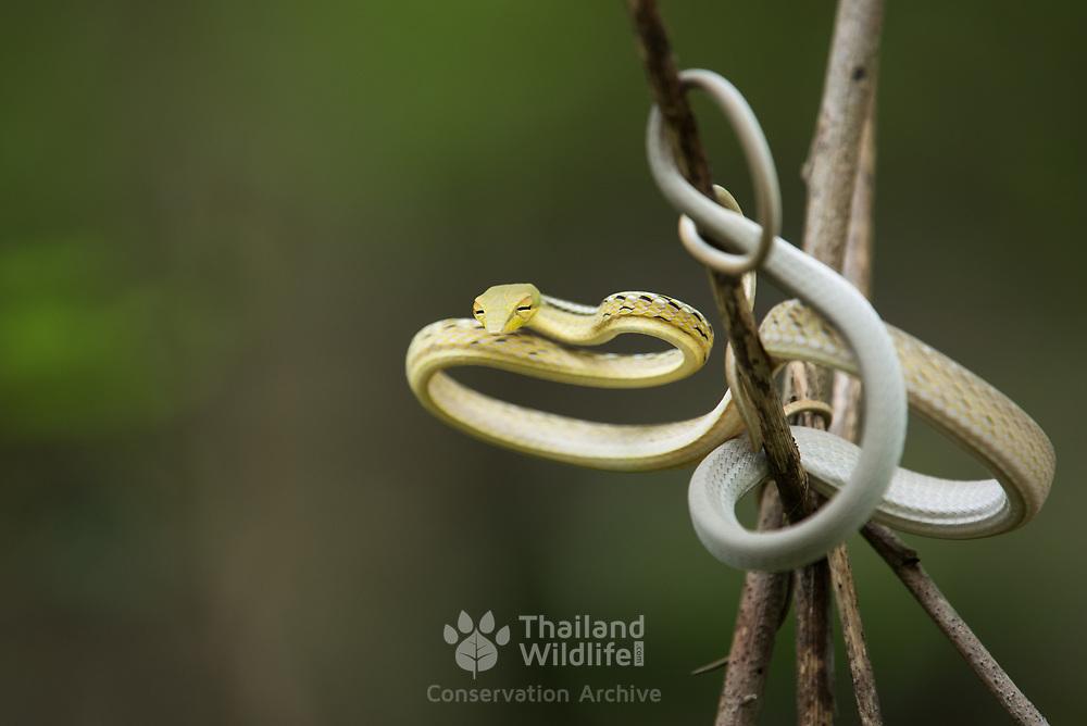 Oriental Vine Snake (Ahaetulla prasina) juvenile in Kaeng Krachan national park, Thailand