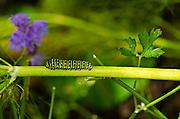 Caterpillar at Cox