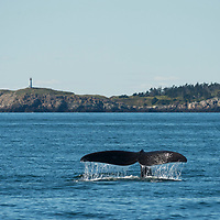 Tail of a North Atlantic Right Whale (Eubalaena glacialis) in the Bay of Fundy, Canada, September, 2016.
