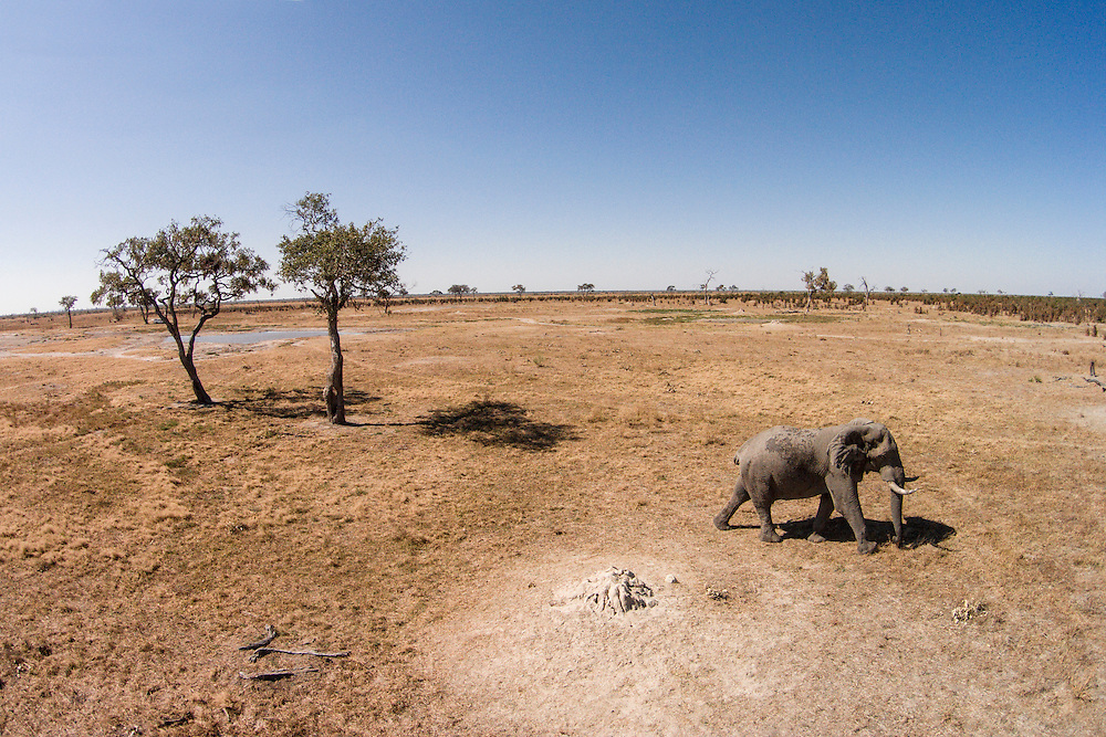 Africa, Botswana, Chobe National Park, Aerial view of Elephant (Loxodonta africana) walking Savuti Marsh's grasslands in Okavango Delta