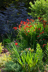 Crocosmia 'Lucifer' in front of Sambucus nigra f. porphyrophylla 'Black Lace'. Montbretia, Elderberry