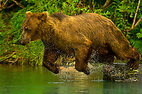Sow (female) brown bear fishing for salmon near the Redoubt Bay Lodge, Big River Lakes, along the Cook Inlet, west of Anchorage, Alaska
