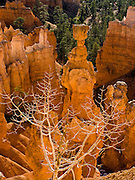 Sunrise light strikes Thor's Hammer and other orange and white hoodoos in Bryce National Park, Utah, USA. Bryce is actually not a canyon but a giant natural amphitheater created by erosion along the eastern side of the Paunsaugunt Plateau. The ancient river and lake bed sedimentary rocks erode into hoodoos by the force of wind, water, and ice.