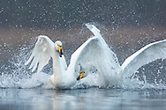 Whooper swan (Cygnus cygnus) two flighting, Cairngorms National Park, Scotland