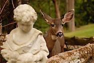 A deer in a Roche Harbor backyard.