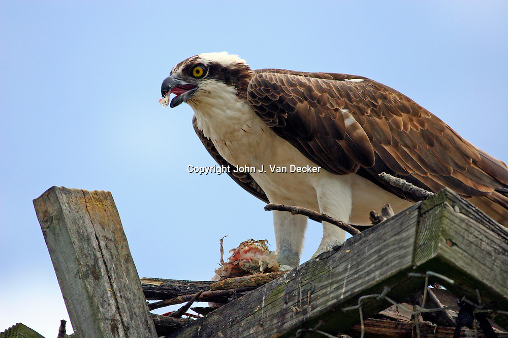 Osprey eating a fish in its nest, Ft Myers Beach, Florida