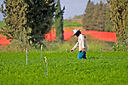 Farmer working in a field Chrysanthemum
