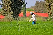 Farmer working in a field Chrysanthemum