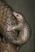 Sunda pangolin<br /> Manis javanica<br /> Two-month-old baby clinging to mother's back (mother was rescued from poachers when she was pregnant and later gave birth while in rehabilitation)<br /> Carnivore and Pangolin Conservation Program, Cuc Phuong National Park, Vietnam<br /> *captive<br /> *Photographed for Wild Wonders of China for The Nature Conservancy