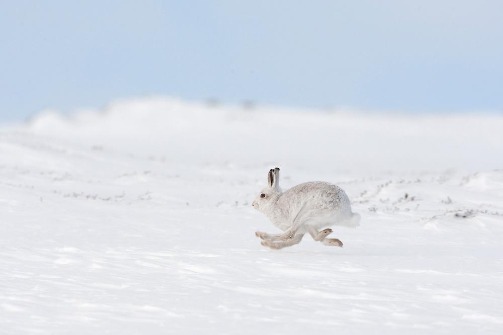 Mountain hare (Lepus timidus) in winter coat running across snow, Scotland