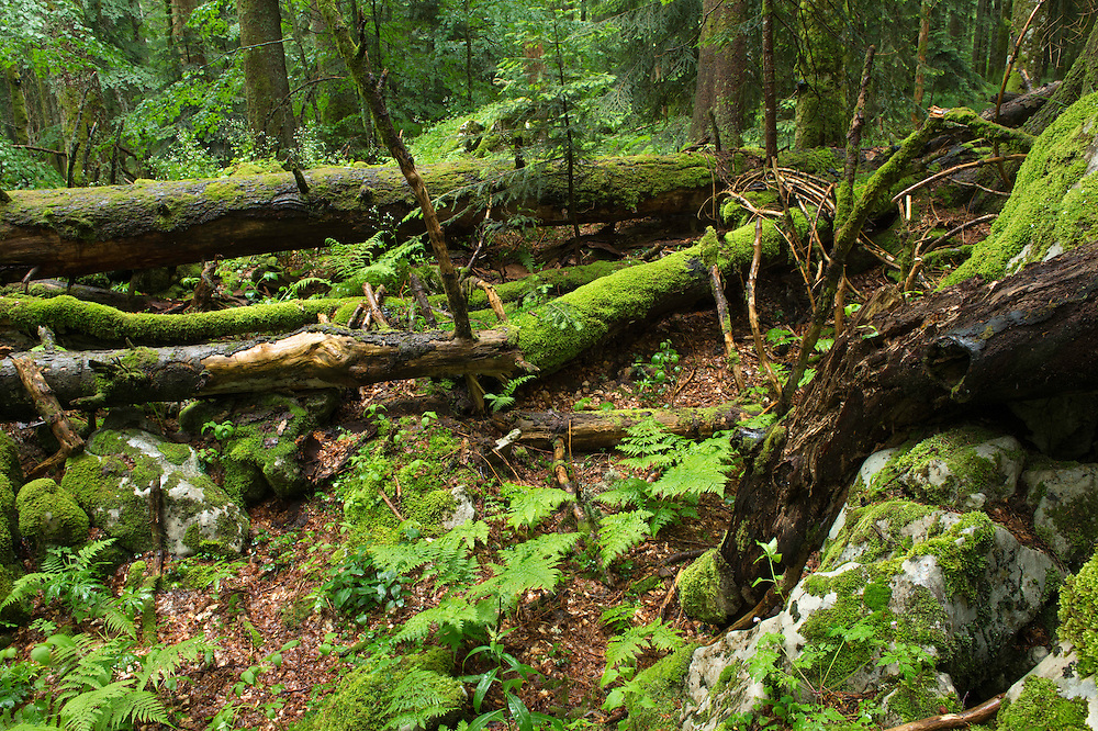 Old-growth forest reserve, virgin forest, Velebit mountains Nature Park, Croatia