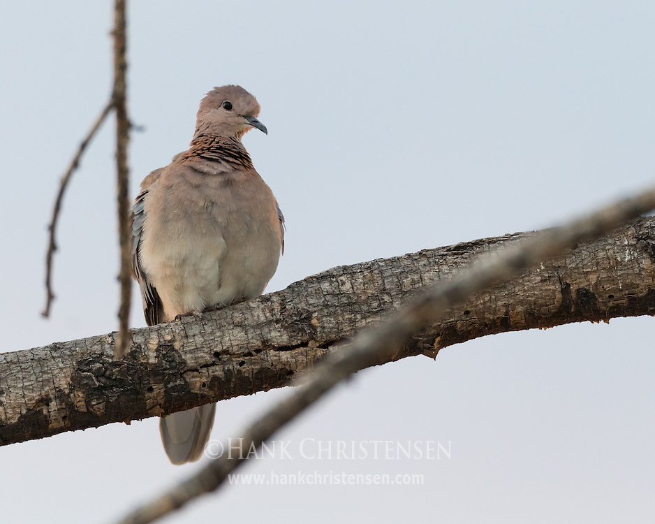 A laughing dove perches on a thick branch, Etosha National Park, Namibia.
