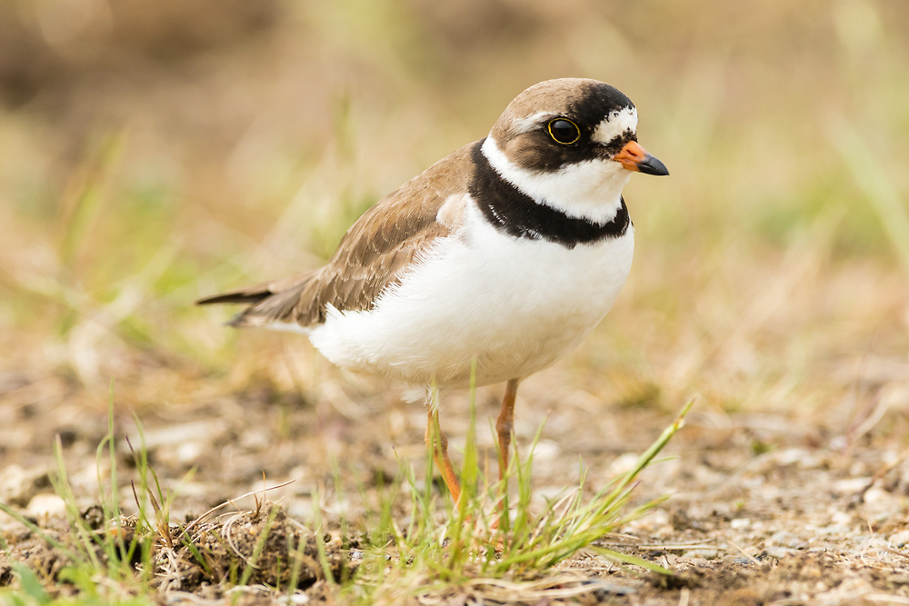 Semipalmated Plover (Charadrius semipalmatus) foraging in tundra near Nome in Northwest Alaska. Spring. Afternoon.
