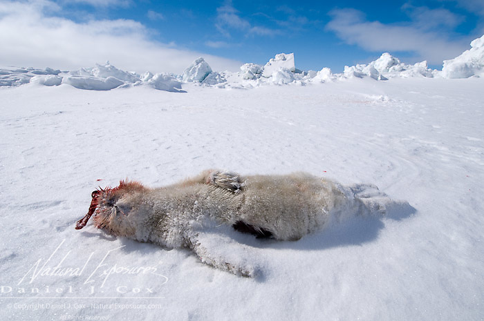 Ringed Seal (Pusa hispida) a baby seal lies dead in the snow. Beaufort Sea, Alaska