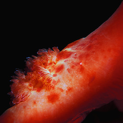 A 'Spanish Dancer' nudibranch's lung detailed during a night dive in Kona, Hawaii.
