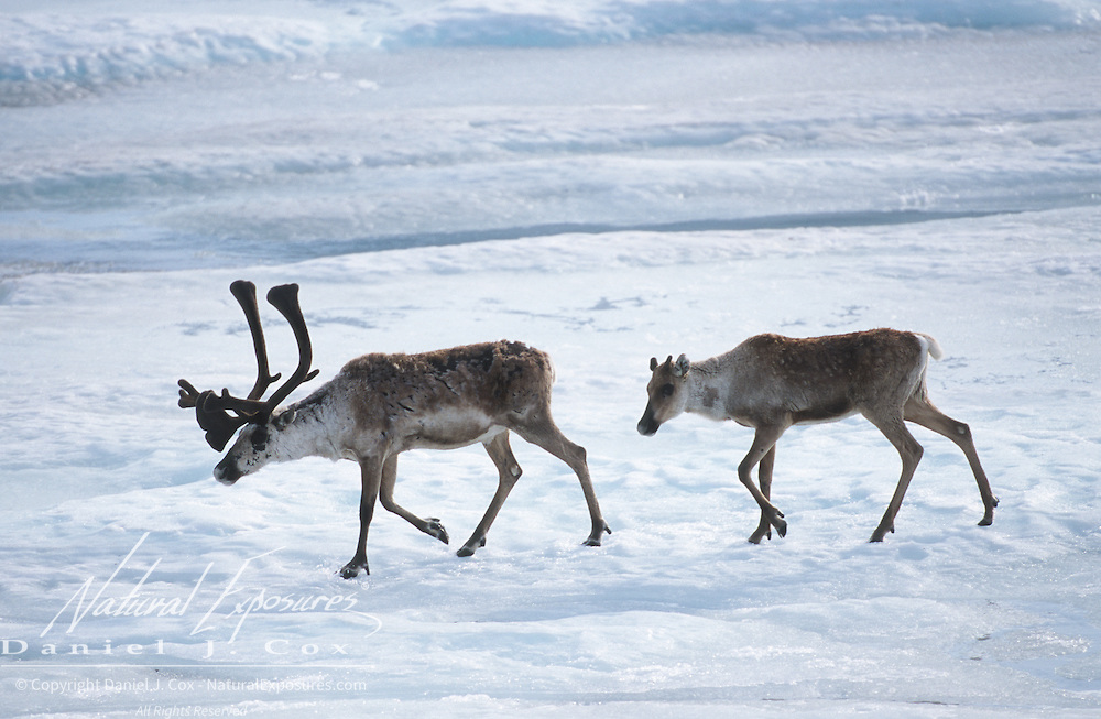 Barren Ground Caribou (Rangifer tarandus groenlandicus) in Alaska.
