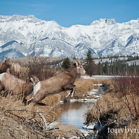 rocky mountian bighorn sheep, ewe jumps creek rocky mountains background wild rocky mountain big horn sheep