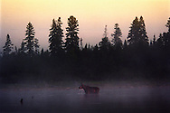 Vereinigte Staaten von Amerika, USA, 2001: Auf der Suche nach Wasserpflanzen als Futter steht eine Elchkuh (Alces alces americana) nach Sonnenuntergang im Wasser des First Roach Pond. | United States of America, USA, 2001: Moose cow, Alces alces americanan, standing in the water of First Roach Pond, near Kokajo after sunset, in the raising dust, for feeding on water plants, water running from its head,  Maine. |