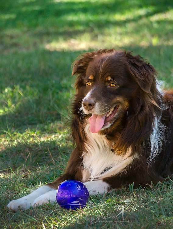 Cowboy, a six-year-old, red tri Australian Shepherd, lays in the grass beside his Kong Squeezz ball, Oct. 14, 2014, in Coden, Alabama. (Photo by Carmen K. Sisson/Cloudybright)