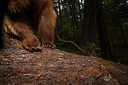 Detail of the feet of an American black bear (Ursus americanus) in the Rogue River National Forest, Oregon.