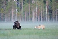 European wolf, Canis lupus, interacting with European Brown bear, Ursus arctos, Kuhmo Finland