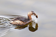 Pied Billed Grebe at Lake Murray with morning catch.