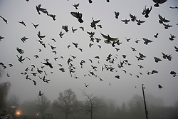 © Licensed to London News Pictures. 22/12/2016. London, UK. Pigeons fly through thick fog in Ealing, West London on a cold winter morning. Temperatures over the upcoming Christmas period are expected to be unusually warm. Photo credit: Ben Cawthra/LNP