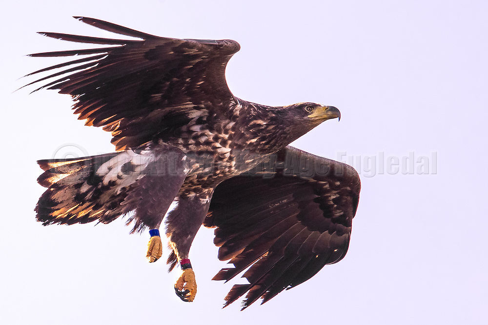 Ringmarked White-tailed Eagle | Ringmerket Havørn