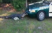 May 01, 2011 - Gainesville, Forida, USA - A 10-foot-long alligator takes a bite out of a Florida deputy sheriff's cruiser in Gainesville, Fla. while the deputy was waiting for an alligator trapper to show up. Sheriff's spokesman Todd Kelly  said the car's front bumper was heavily damaged. <br /> (Credit Image: © Exclusivepix)