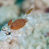 Isopod parasite on goby, Mantabuan, Sabah, Borneo, East Malaysia, South East Asia