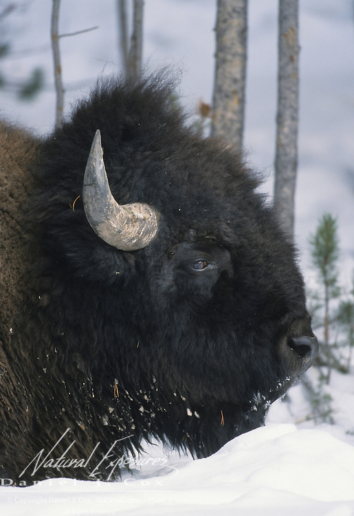 Bison (Bison bison) mature bull in the snow in Yellowstone National Park, Wyoming.