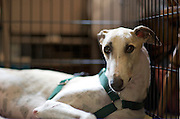 """This is """"PTL Clown,"""" a socially challenged white & fawn boy, only two years old in August-2009.  The Greyhound Pets of America (GPA) Central Florida (floridagreyhounds.com) website describes him with a worried look in his eyes, and his tail usually between his legs, needing some extra TLC."""