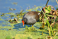 Common Moorhen (Gallinula chloropus),  Green Cay Nature Area Florida