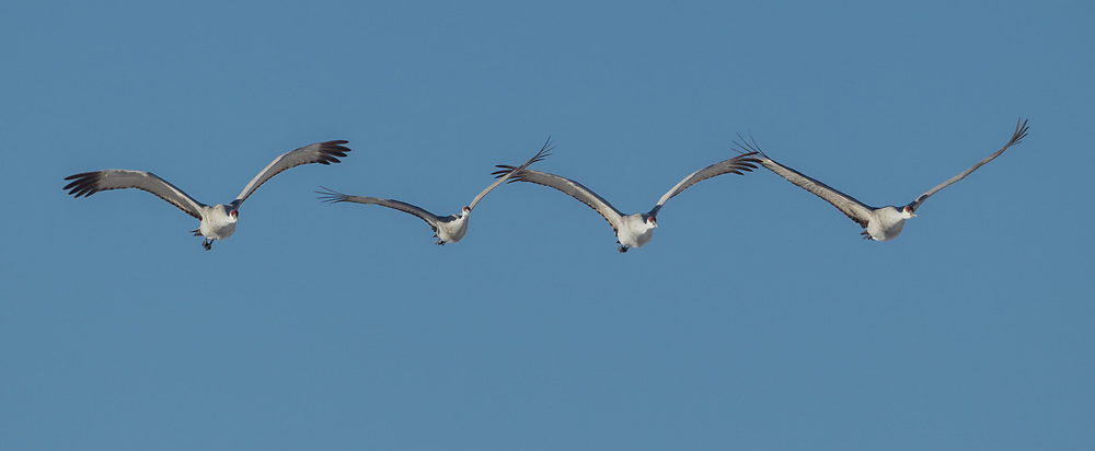 Sandhiil cranes in flight formation, Middle Rio Grande Valley, NM. © 2011 David A. Ponton