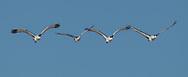 Sandhiil cranes in flight formation, Middle Rio Grande Valley, NM. © 2011 David A. Ponton
